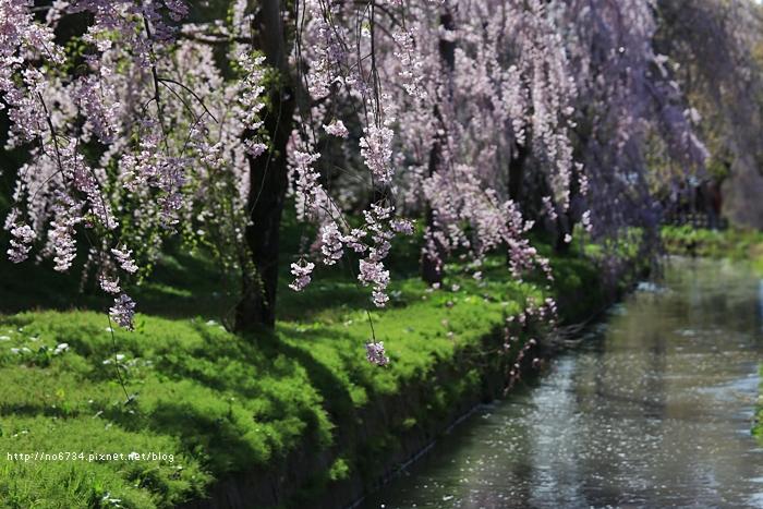 20140502_AomoriSakura_2092 f