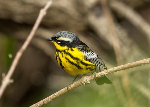 Magnoila Warbler