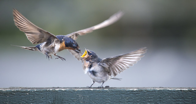 Swallow and chick B