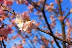 2015 01 25 新北市.烏來.花園新城.寒櫻(藍天-70%-二)