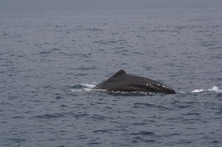 Sperm whale preparing to dive