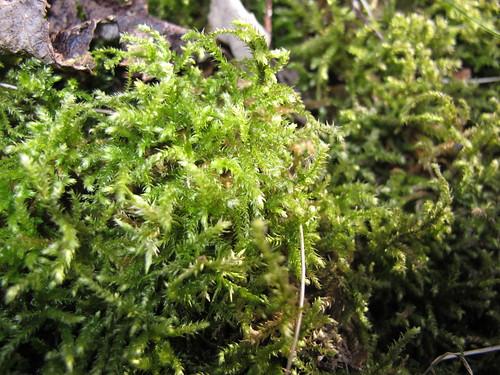 Moss Bryophyte