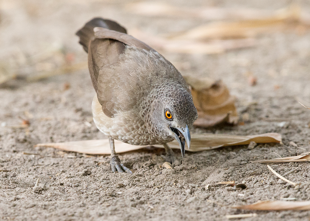 Brown Babbler   Gambia