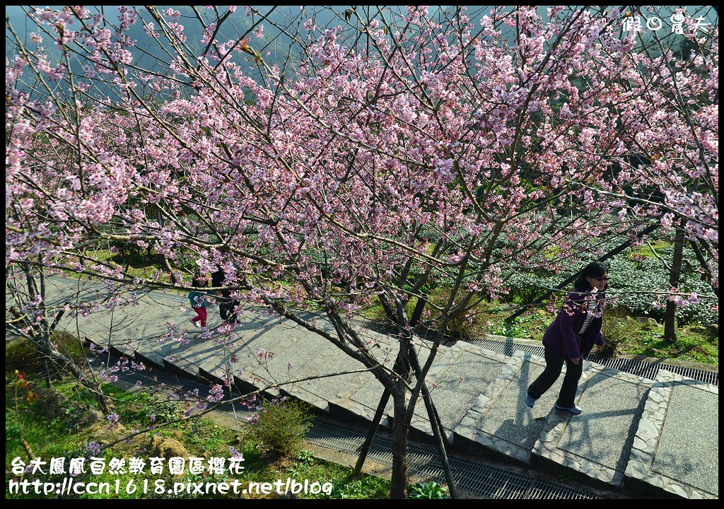 台大鳳凰自然教育園區櫻花DSC_6091