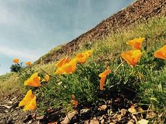 Poppies Poppin'