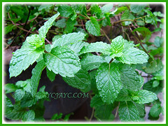 Mentha spicata (Garden Mint, Common Mint, Spearmint, English Mint) at our backyard, Nov 27 2015