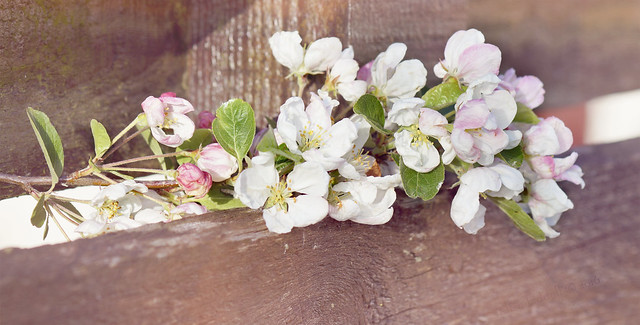 The apple blossom fence