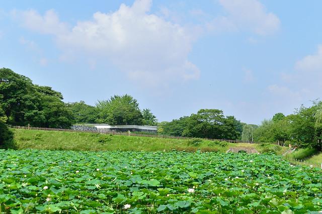 舞鶴公園のハス