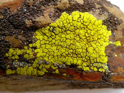 Acarospora sulphurata (Arnold) Arnold