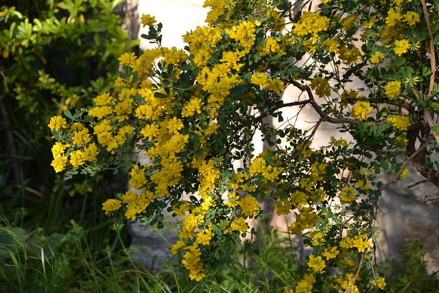 Coronilla glauca (= C. valentina subsp. glauca) - coronille glauque 8714561451_2fa6085311_z