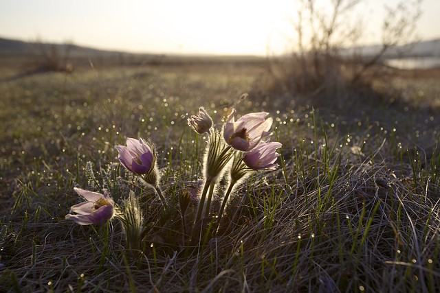 Prairie Crocus, Pasque flower