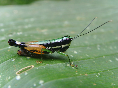 Another pleasant grasshopper