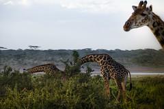 Tanzania-Masek-SafariDrive-54