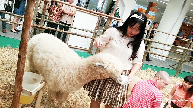 Play with Alpaca @ Paradise Park