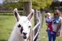 alpaca(0.0), donkey(0.0), animal(1.0), llama(1.0), camel-like mammal(1.0),