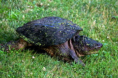 animal, turtle, grass, reptile, green, fauna, common snapping turtle, wildlife,