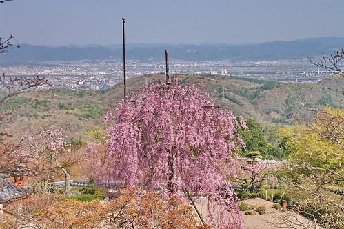 【写真】桜 : 善峯寺