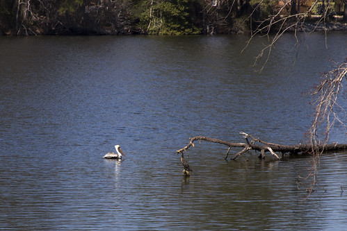 Pelican on Lake Whitehurst by bahayla