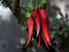 New Zealand Native plants