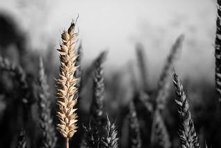 wheat / Weizen