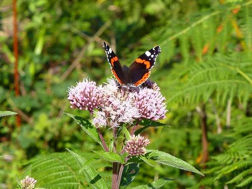 Red Admiral by Linda Yarrow