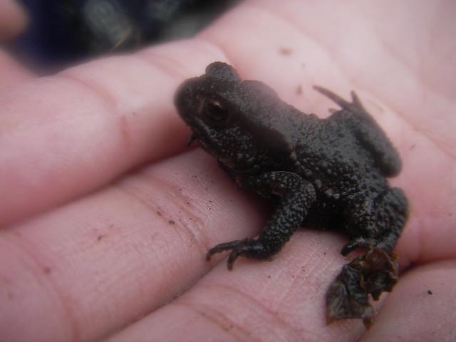 作業道で小さなヒキガエルを見つけた.どこからやってきたのだろう?