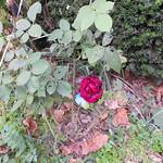 Rose September 2013