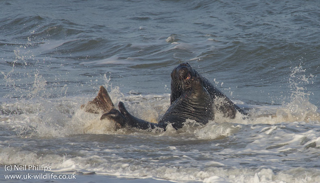 fighting grey seals