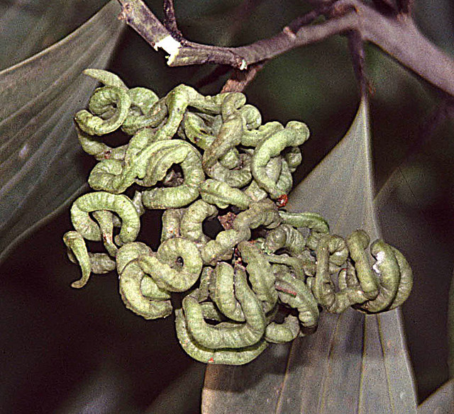 Header of Acacia mangium