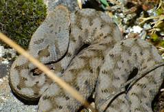 Aspic Viper (Vipera aspis zinnikeri) hatchling