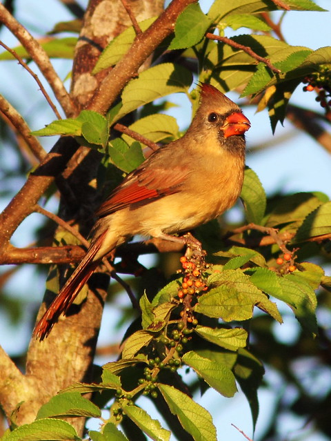 Northern Cardinal female eating Trema berries 2-20131011