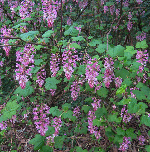Pink flowering currant plants of devils gulch samuel p taylor 10355309226 2e8c3bba4b mightylinksfo