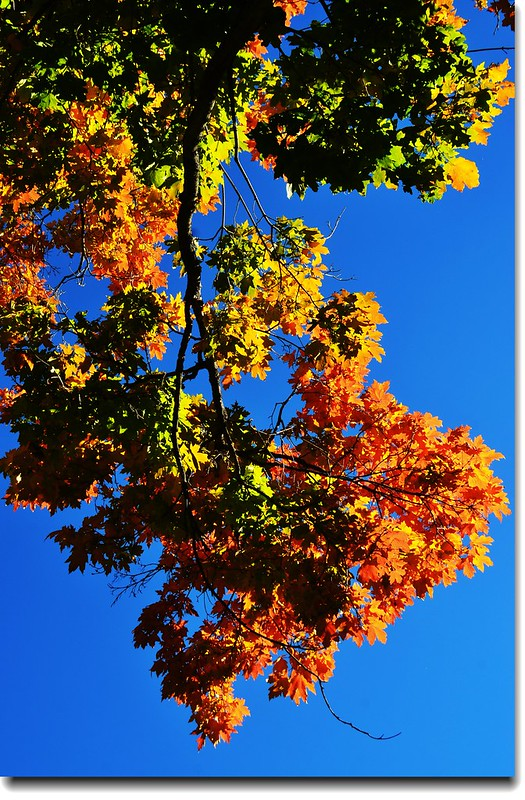 Maple in Fall, Chautauqua park, Boulder (26)