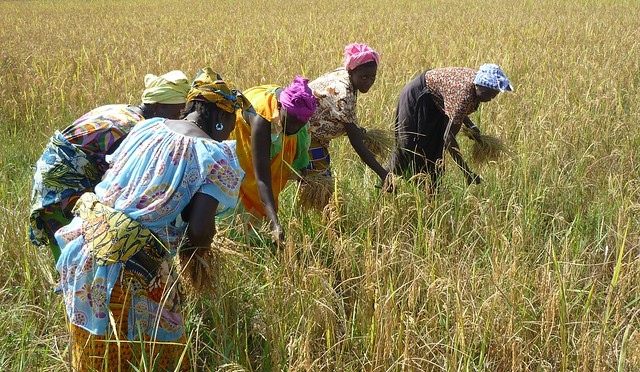 Raccolta di riso