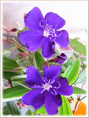 Tibouchina urvilleana (Princess Flower, Glory Bush)