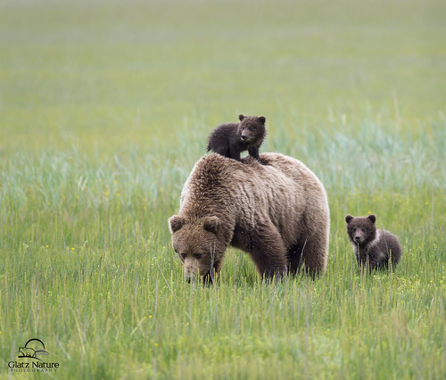 Brown Bear Family Meal