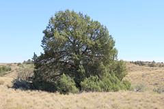 Juniper Tree in Juniper Dunes Wilderness