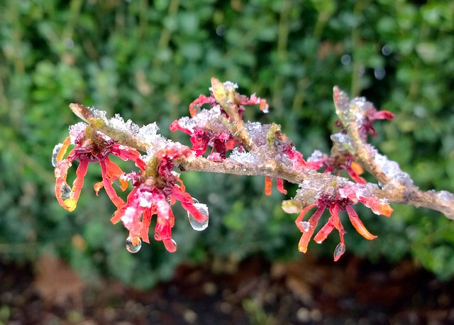 Wet snow on witch-hazel