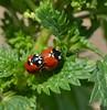 Nine-spotted Ladybugs by Roger Nyemaster
