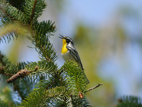 Yellow-throated Warbler, Colonial Park, Franklin Township, NJ