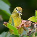 Orange-crowned Warbler by Jerry Ting