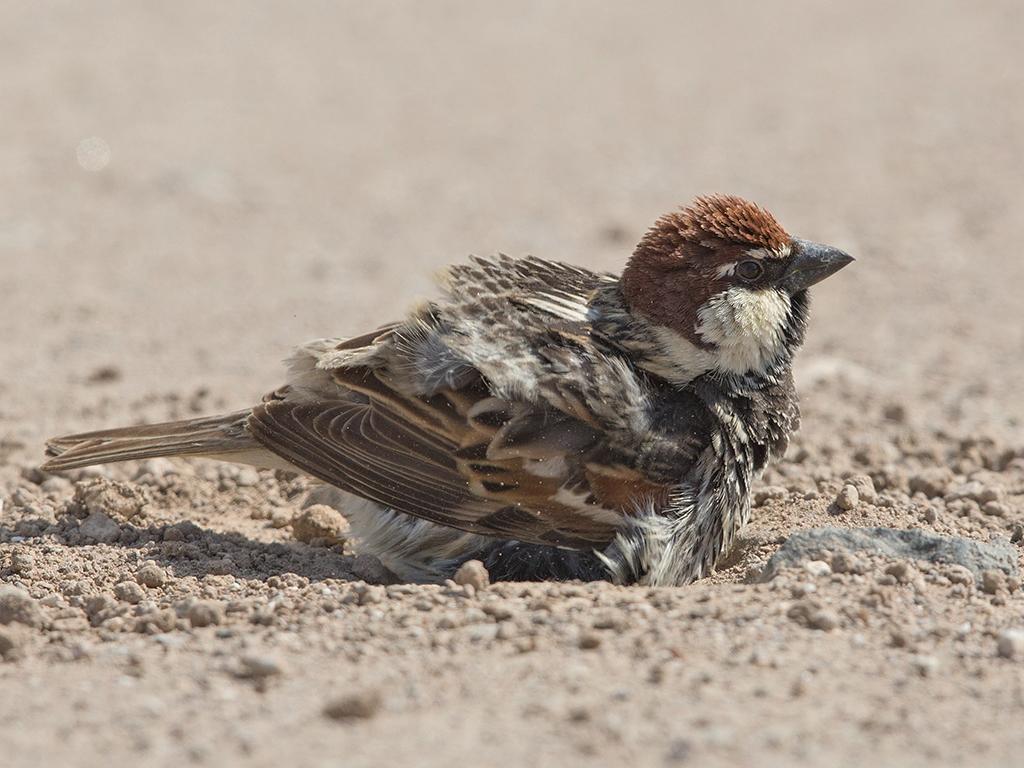 Spanish Sparrow 2014-05-02 (4a)