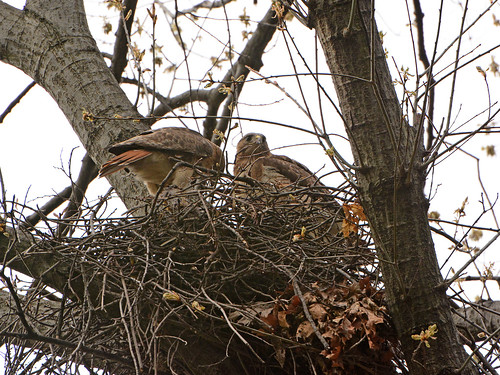 Red-Tailed Hawks in Nest (7651)