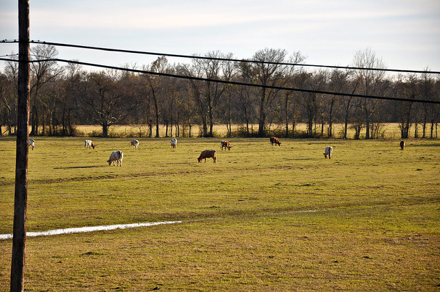 Cow Pasture on Patterson Road