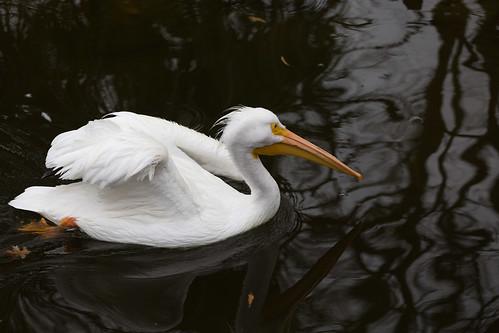 Pelican Afloat