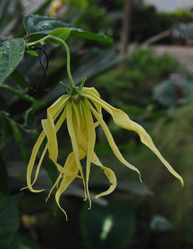 Cananga odorata var. fruticosa (Ylang Ylang)