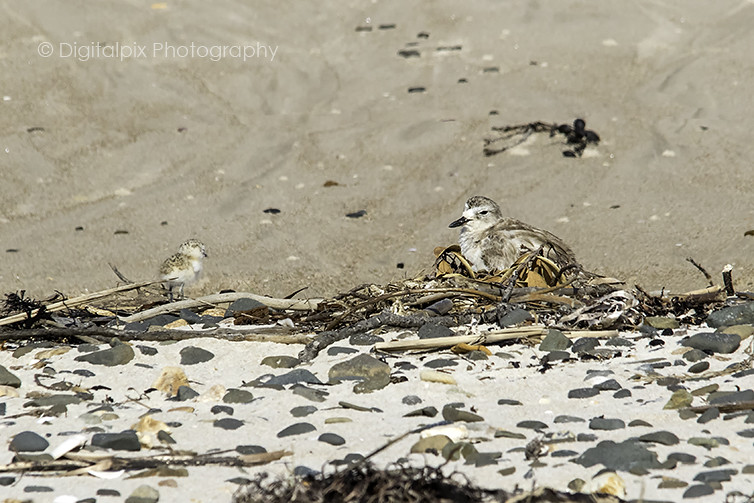 NZ Dotterel Family and Nest