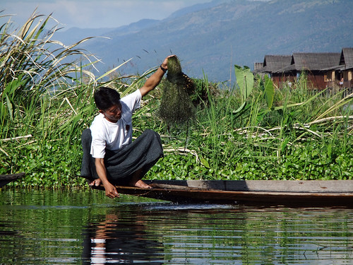 Man Harvesting Seaweed on Inle Lake, Myanmar
