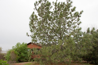GrayPine_at_DonEdwards_0968a