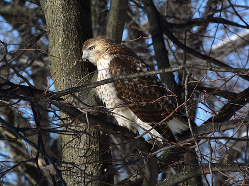 Riverside Red-Tail - 5170